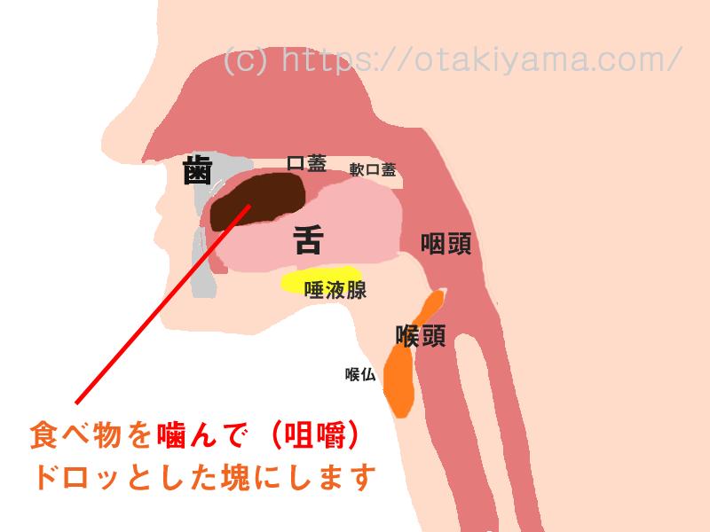 誤嚥・誤嚥性肺炎の予防、口腔機能訓練用、摂食・嚥下のメカニズムの図・イラスト
