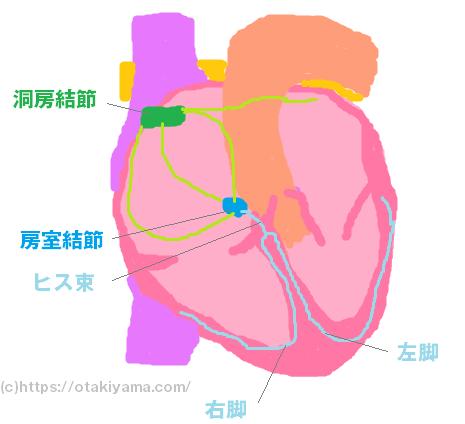心臓の刺激伝導系、洞房結節・房室結節、ヒス束、右脚・左脚のイラスト図