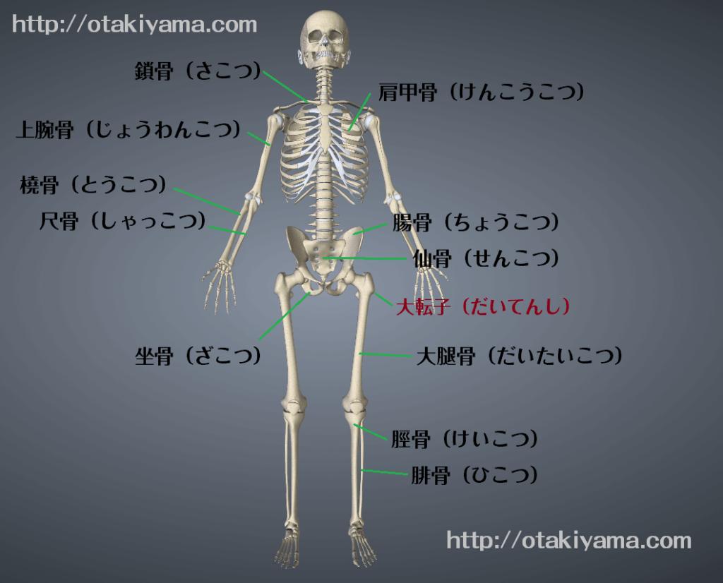 骨標本 骨の名前