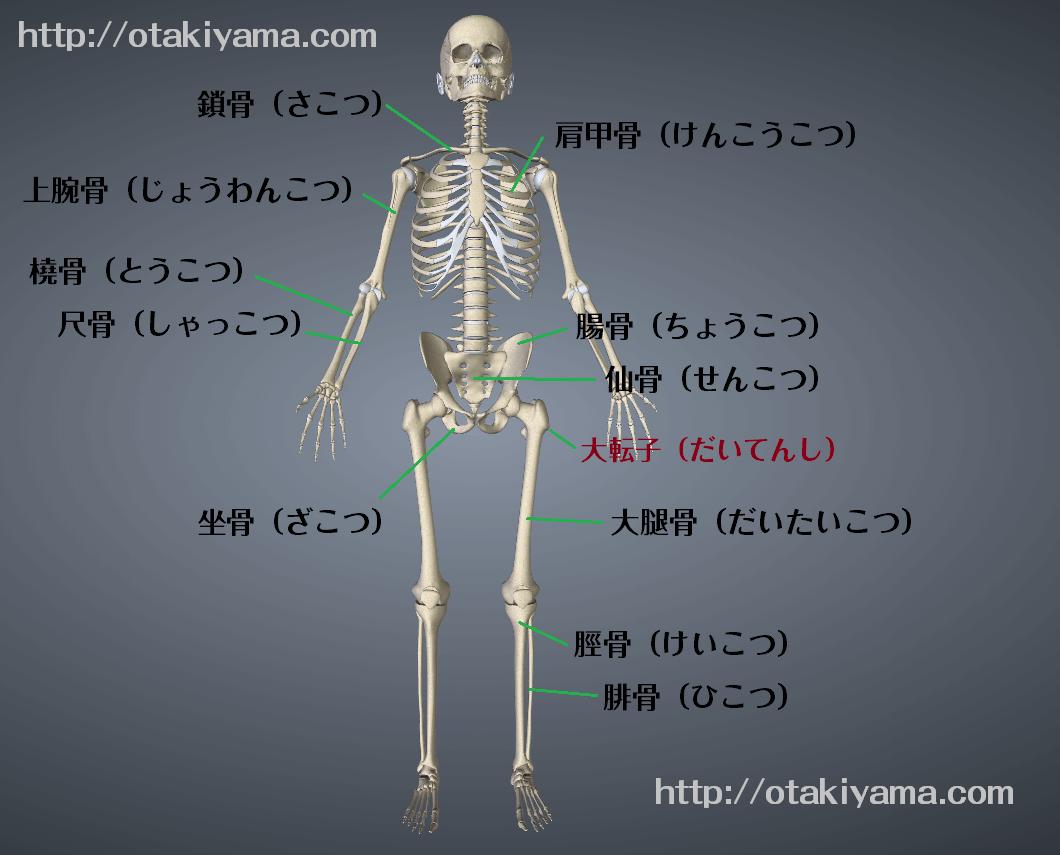 人体模型 骨標本で骨の名前と場所