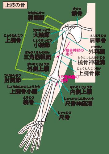 上肢の骨・医療用語