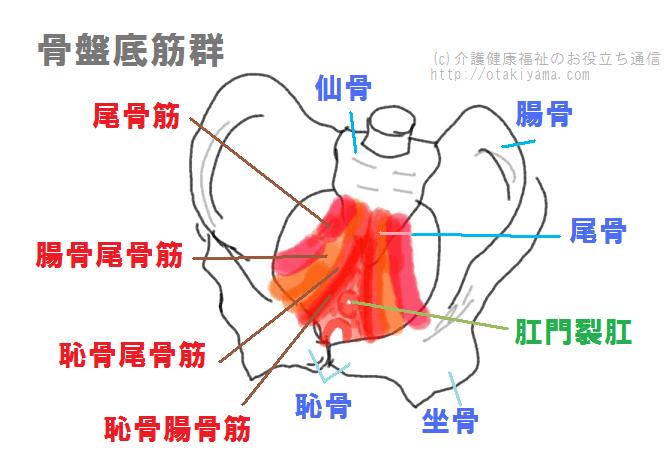尿失禁の原因にもなる骨盤底筋群の図