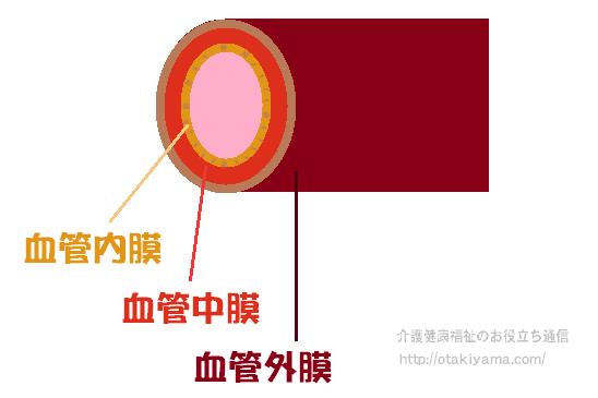 血管の構造 血管内膜・血管中膜・血管外膜