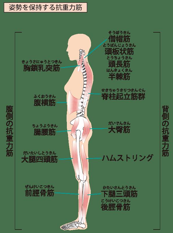 抗重力筋の筋肉の種類